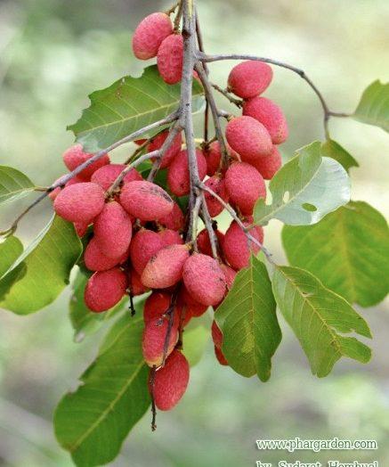 ผลไม้ไทย หาซื้อไม่ได้แต่ประโยชน์มหาศาล
